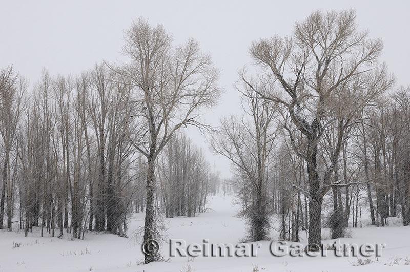 196 Birch Trees in Snow.jpg