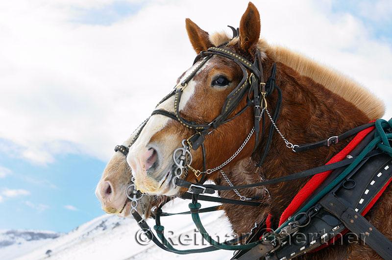 196 Sleigh ride horses.jpg