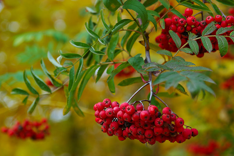 Mountain Ash Berries.jpg