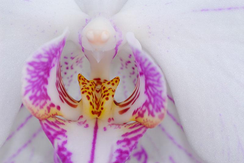 70 White Moth Orchid.jpg