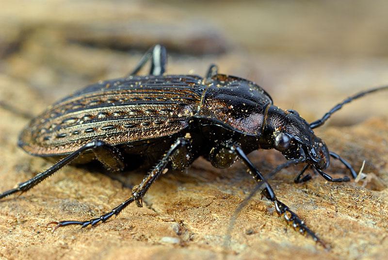 71 Black Beetle side.jpg