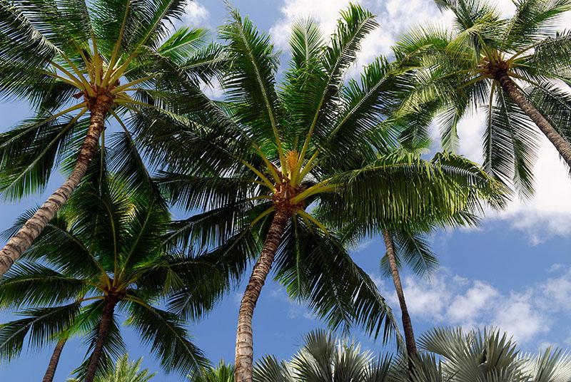 76 Hawaiian palm trees.jpg