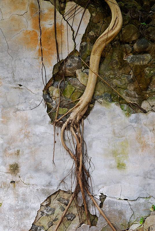 78 Banyan tree in ruined church.jpg