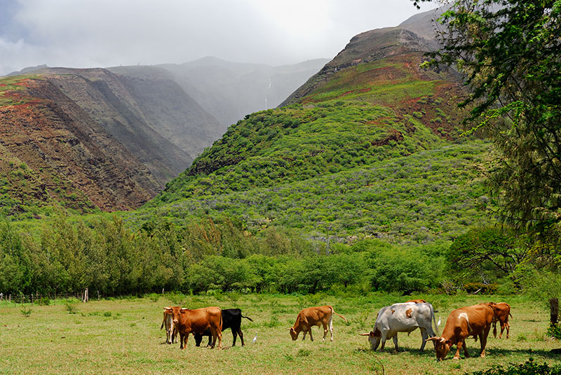 78 Cattle at Kamalo Gulch.jpg