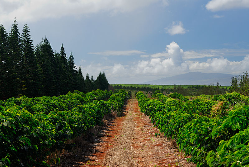 79 Kona Coffee field.jpg