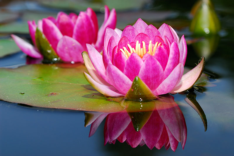 87 Water Lily 3.jpg