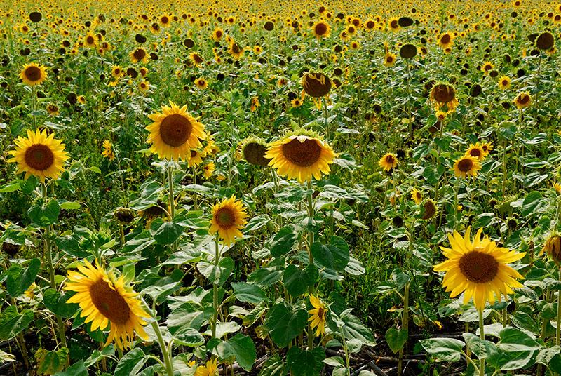 90 Sunflower Field.jpg