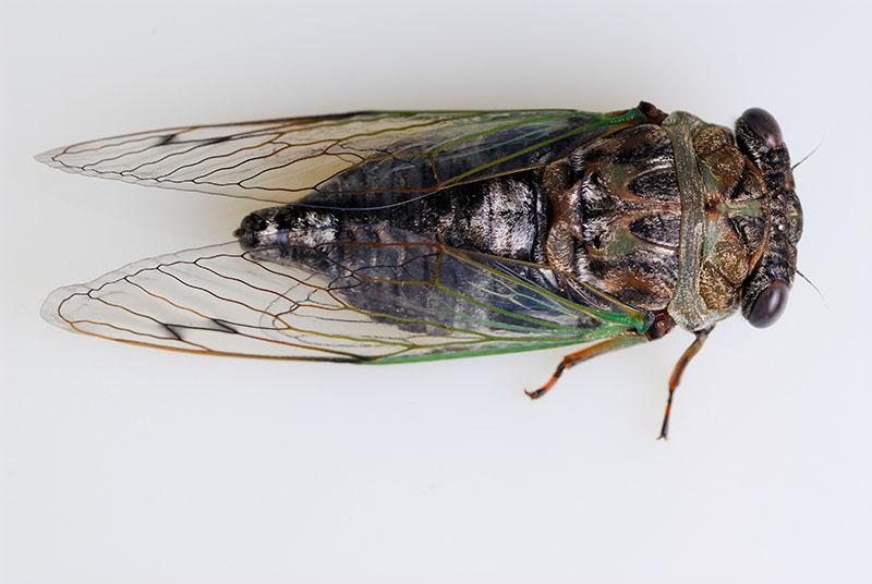 91 Cicada on white 3.jpg