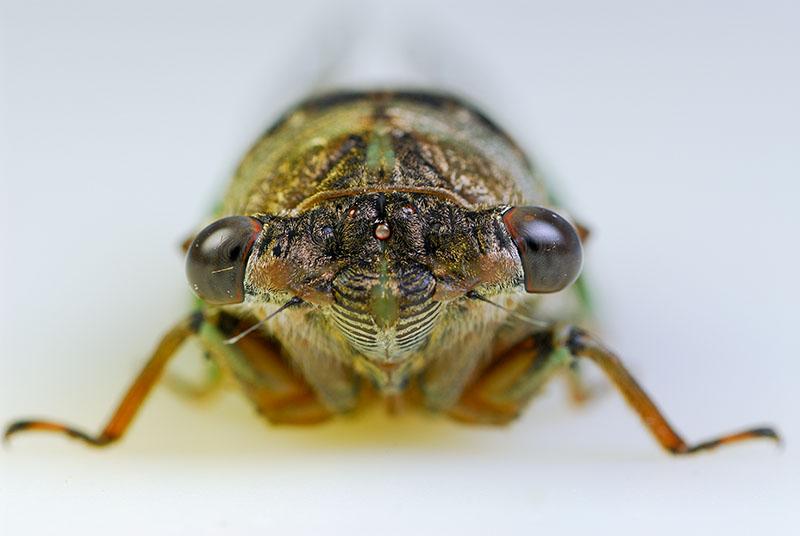 91 Cicada on white 4.jpg