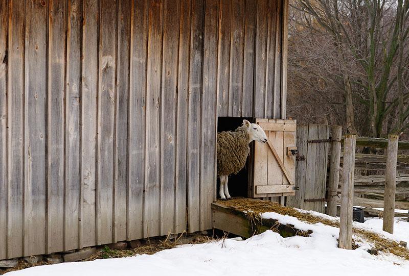 147 Bashful sheep.jpg