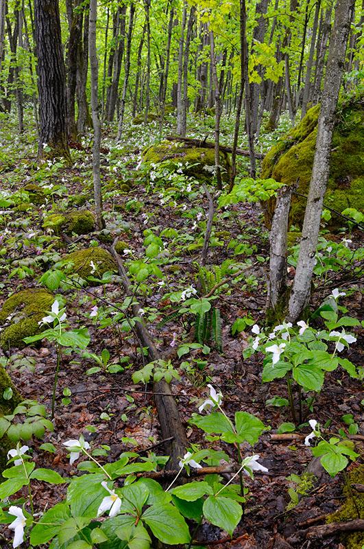 167 Trilium forest.jpg