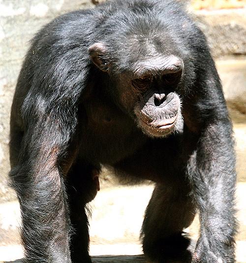 Chimpanzee at LA zoo.jpeg