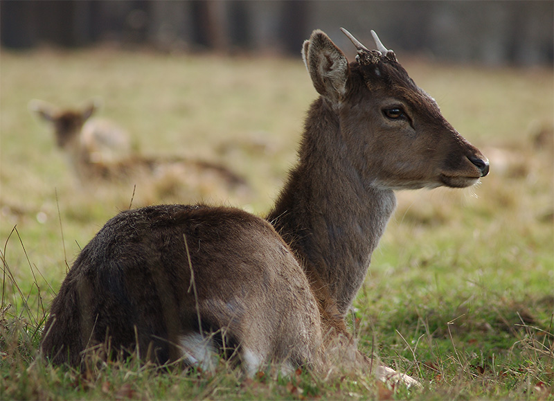 Ickle Baby Fallow