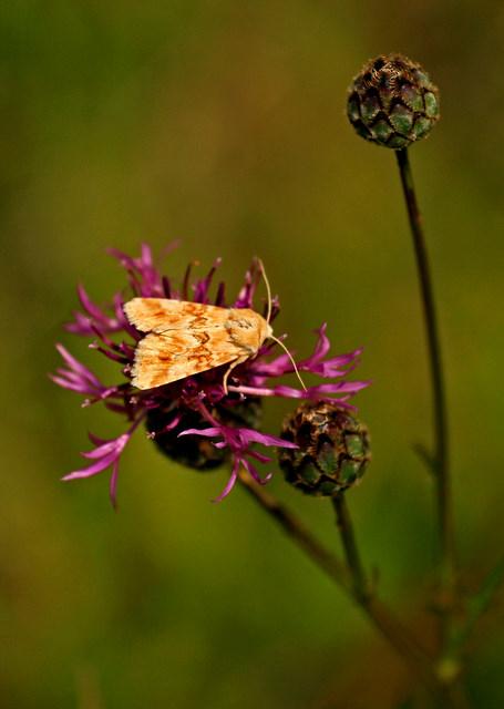 papillon dont je ne connais pas le nom.