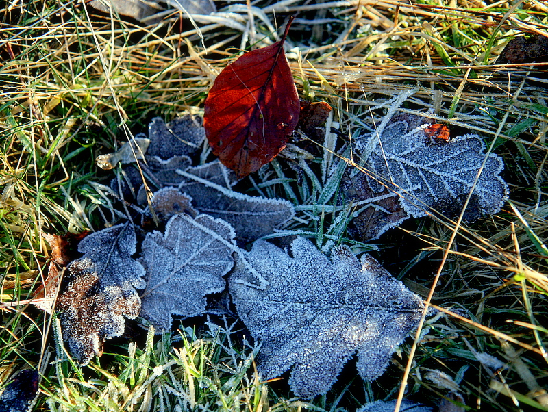 frozen leaves.