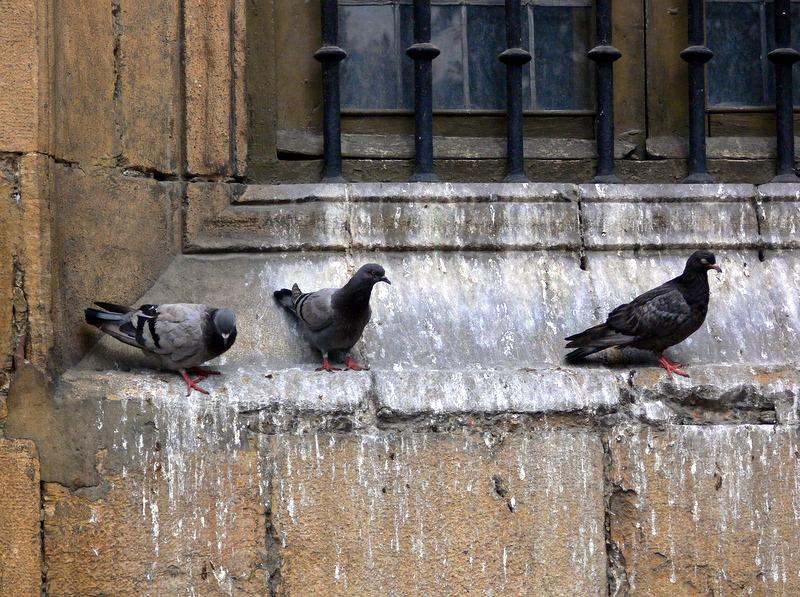 pigeons.