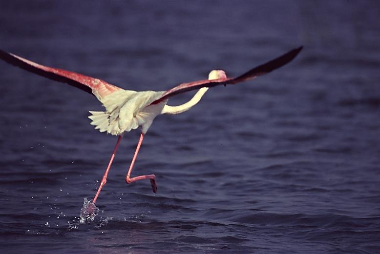 Flamingo - taking off