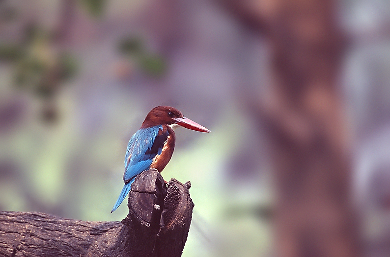 White-breasted kingfisher 02