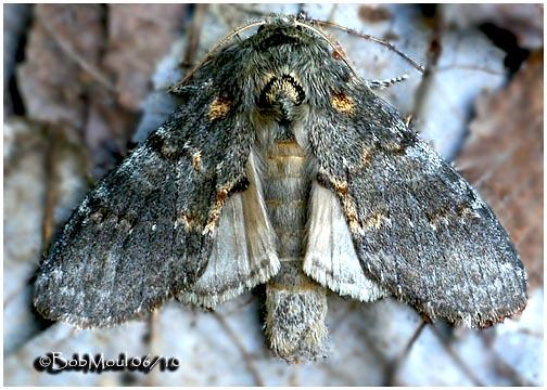 <h5><big>Angulose Prominent Moth<br></big><em>Peridea angulosa  #7920</h5></em>
