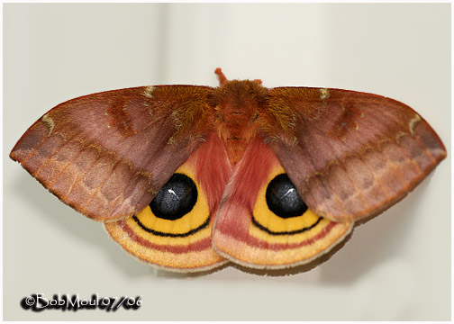 <h5><big>IO Moth-Female<br></big><em>Automeris IO #7746</h5></em>