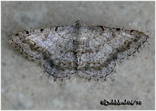 <h5><big>Faint-spotted Angle Moth<br></big><em>Digrammia ocellinata  #6386</h5></em>