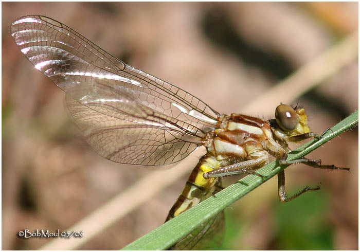 Teneral Dragonfly (Sp?)