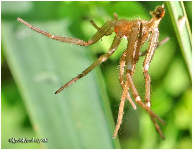 Shed Spider Skin