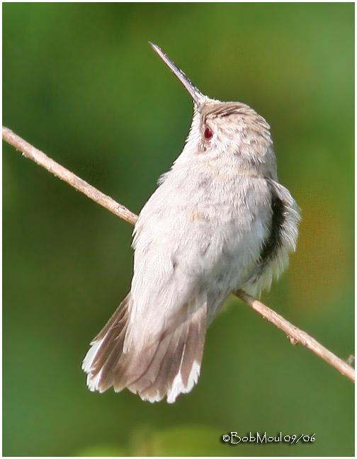 Leucistic Ruby-throated Hummingbird