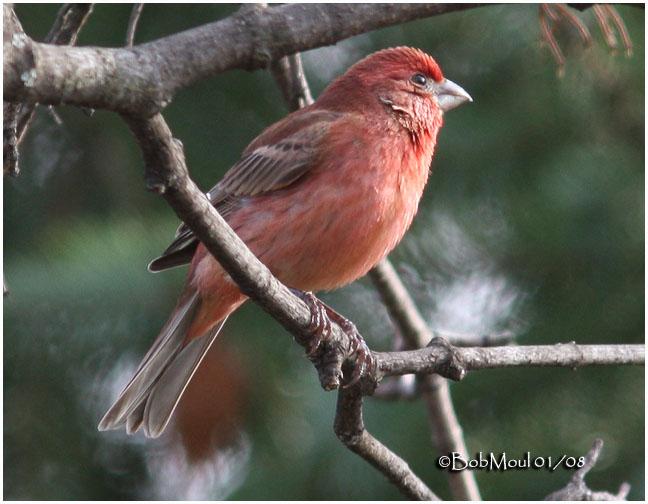 House Finch-Male