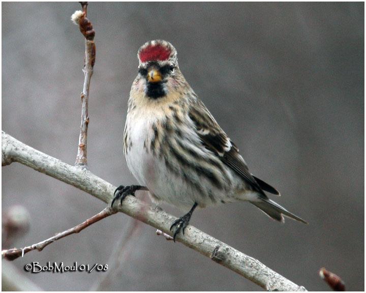 Common Redpoll-Female