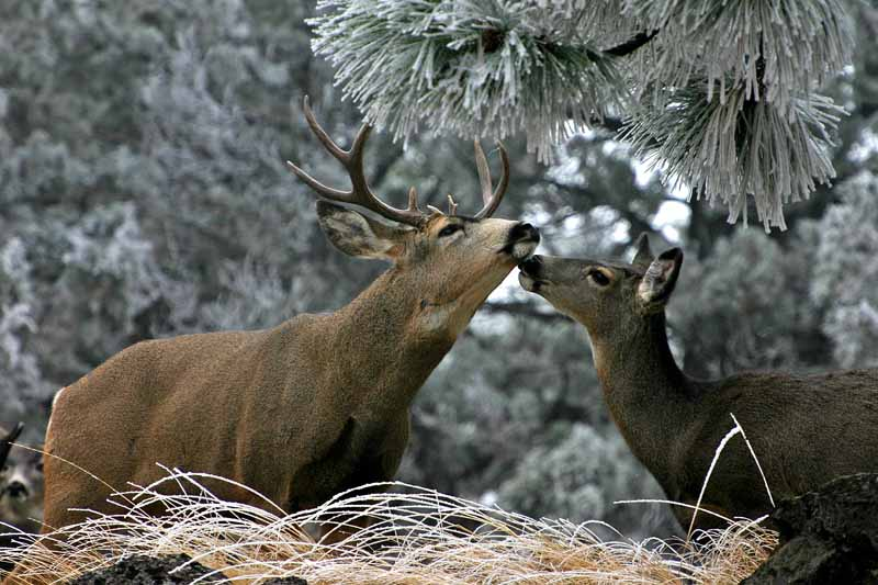 Buck and Doe in our neighborhood