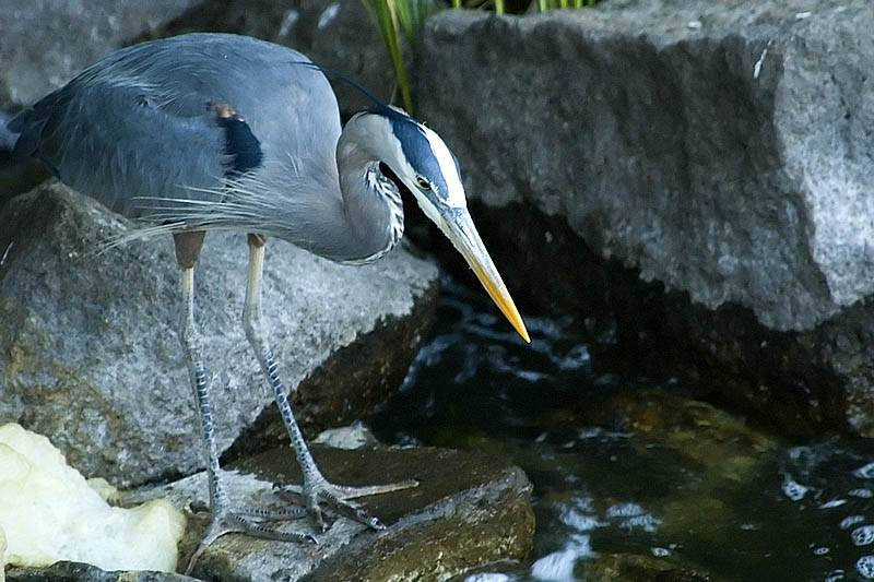Great Blue Heron  ~  May 30  [15]