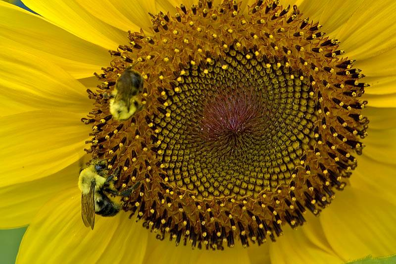 Sunflower Bees  ~  July 19  [12]