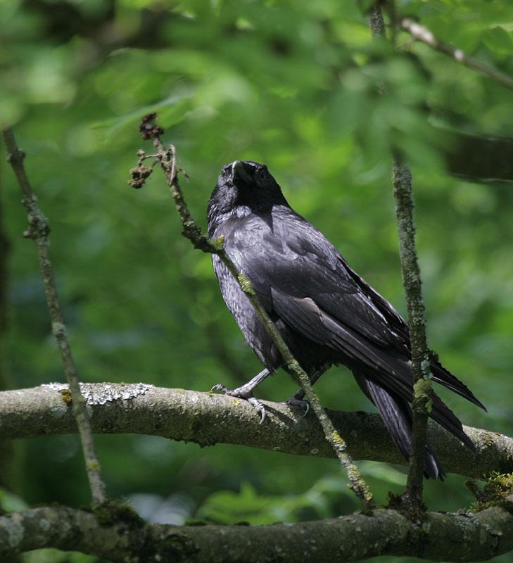 Rabe / Northern Raven