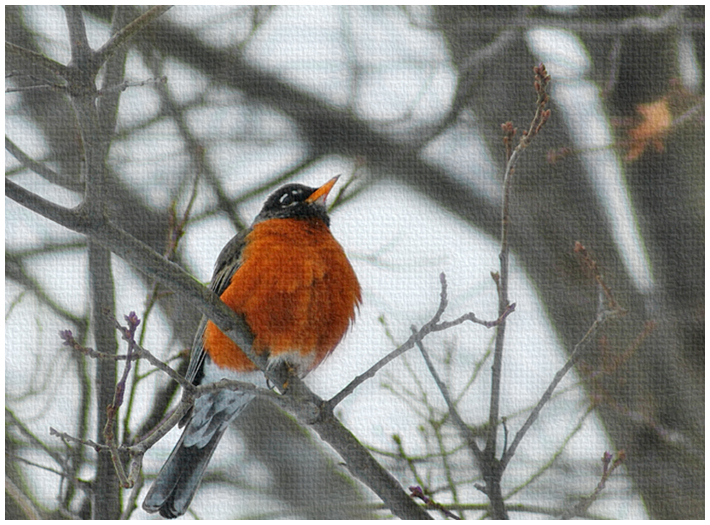 Male Robin