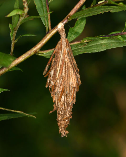Bagworm coccoon