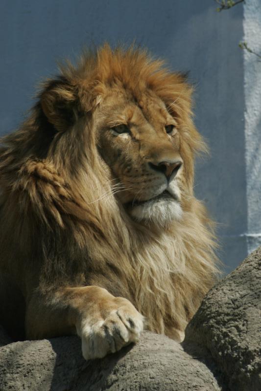 Lion (original)