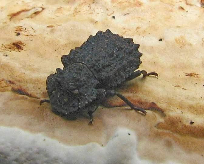 Forked fungus beetle (<em>Bolitotherus cornutus</em>) , female, on a polypore fungus