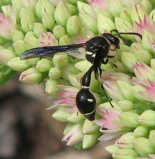 Potter wasp (<em>Eumenes fraternus</em>)