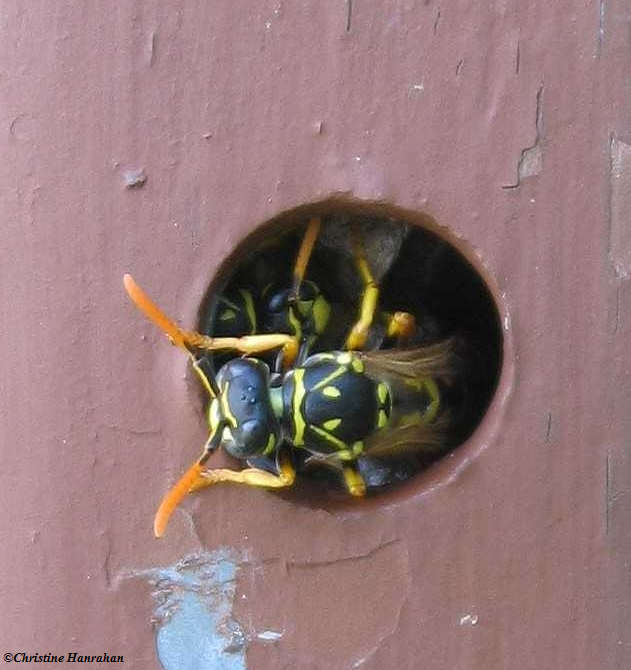 Paper wasp  (<em>Polistes dominula</em>)