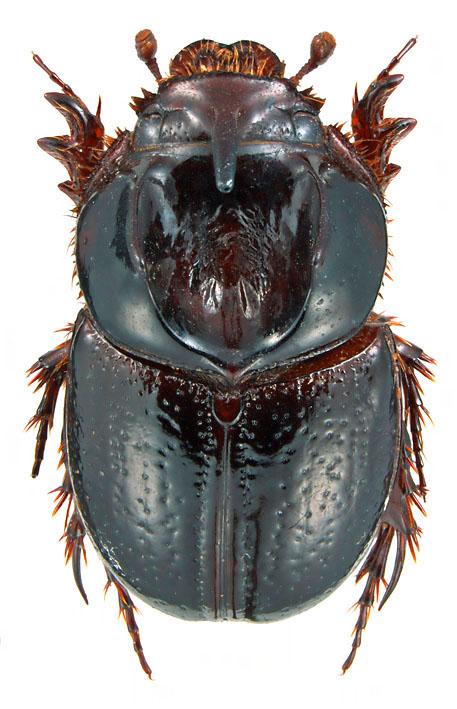 Orphnus (Fam. Scarabaeidae), Myanmar