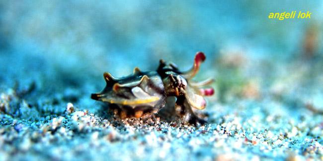 Baby Flambuoyant Cuttlefish