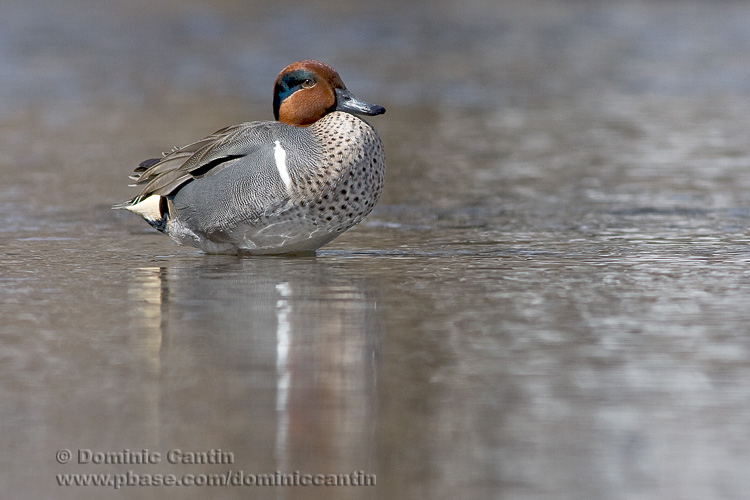 Sarcelle dHiver / Green-winged Teal