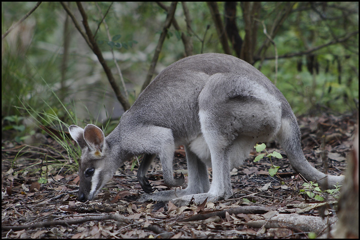 Whiptail wallaby photo lourozensteins photos at pbase whiptail wallaby ccuart Choice Image