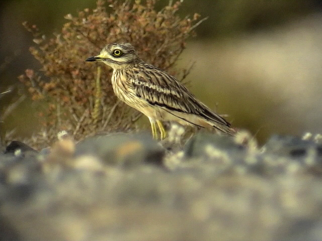 Tjockfot<br> Stone-Curlew<br> Burhinus oedicnemus(insularum)