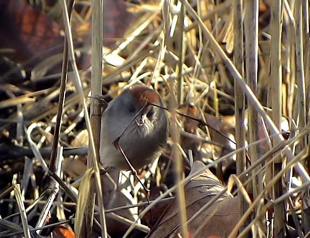 Ashy-throated Parrotbill<br>  Paradoxornis alphonsianus