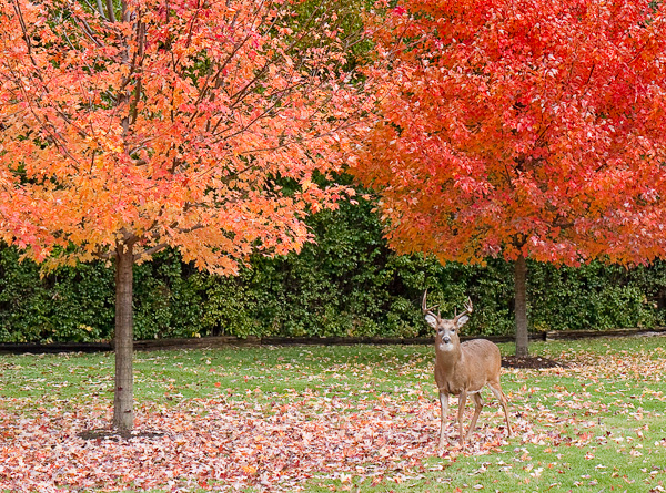 fall color deer copy.jpg