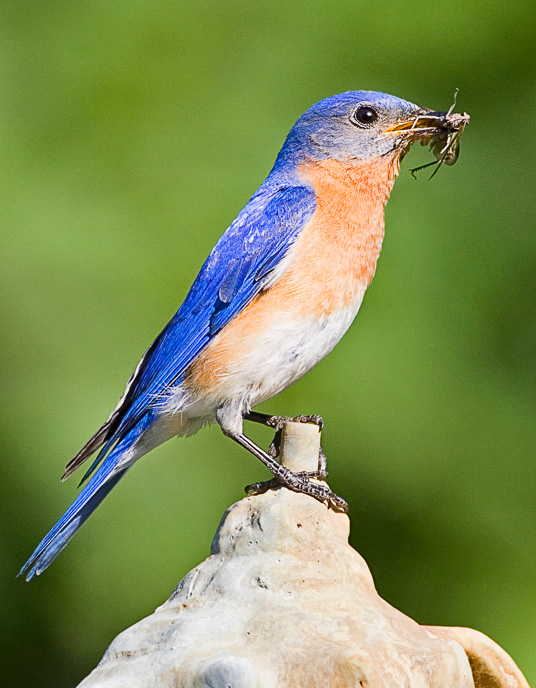 bluebird4web.jpg