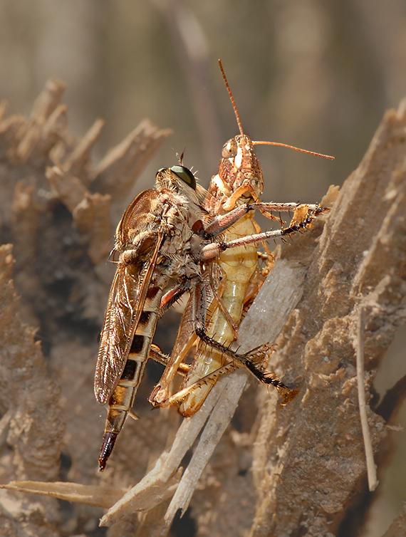 Robber Fly with Grasshopper Prey