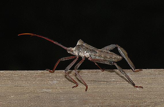 Acanthocephala declivis Nymph